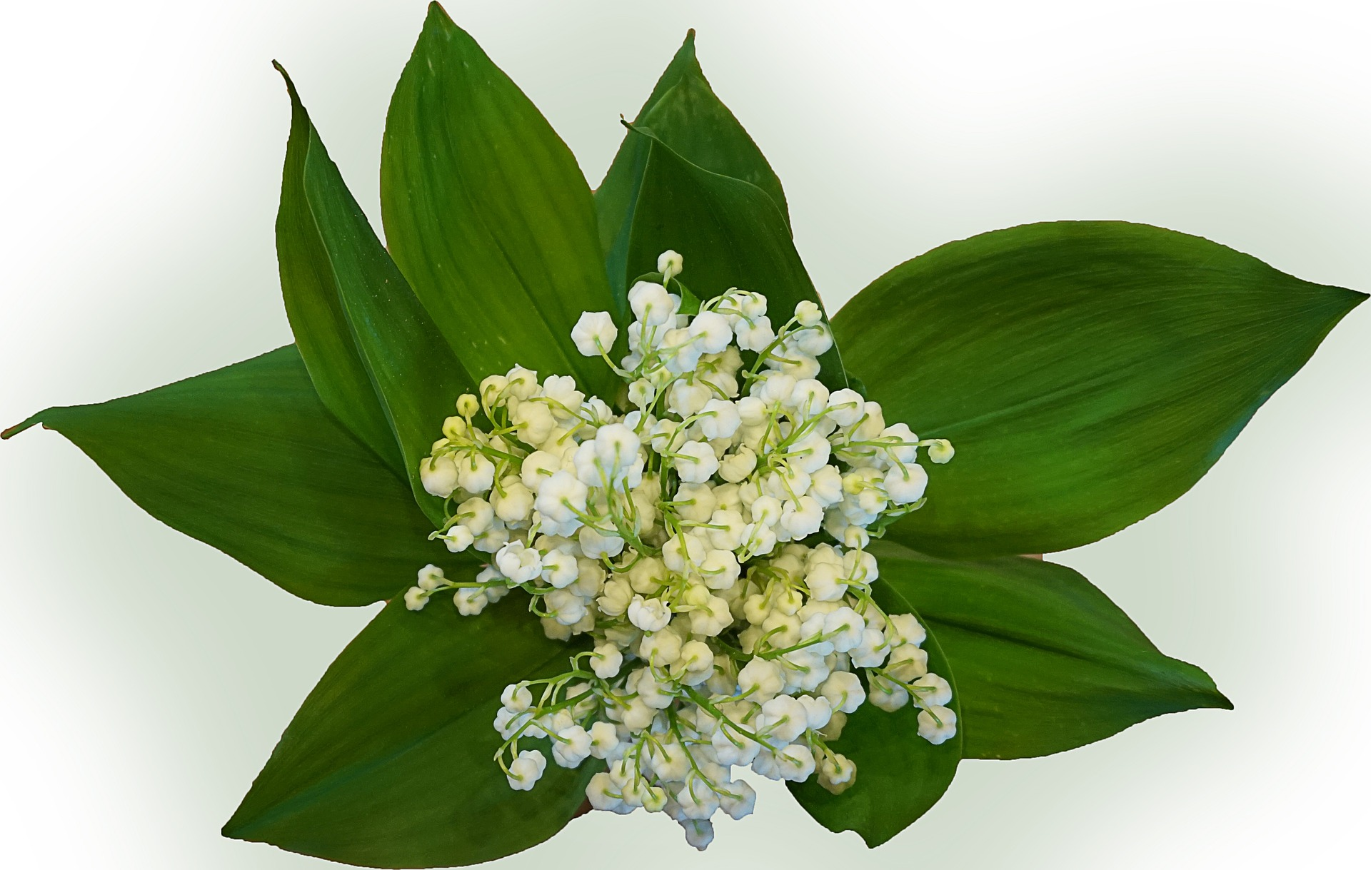 lily-of-the-valley-771108_1920