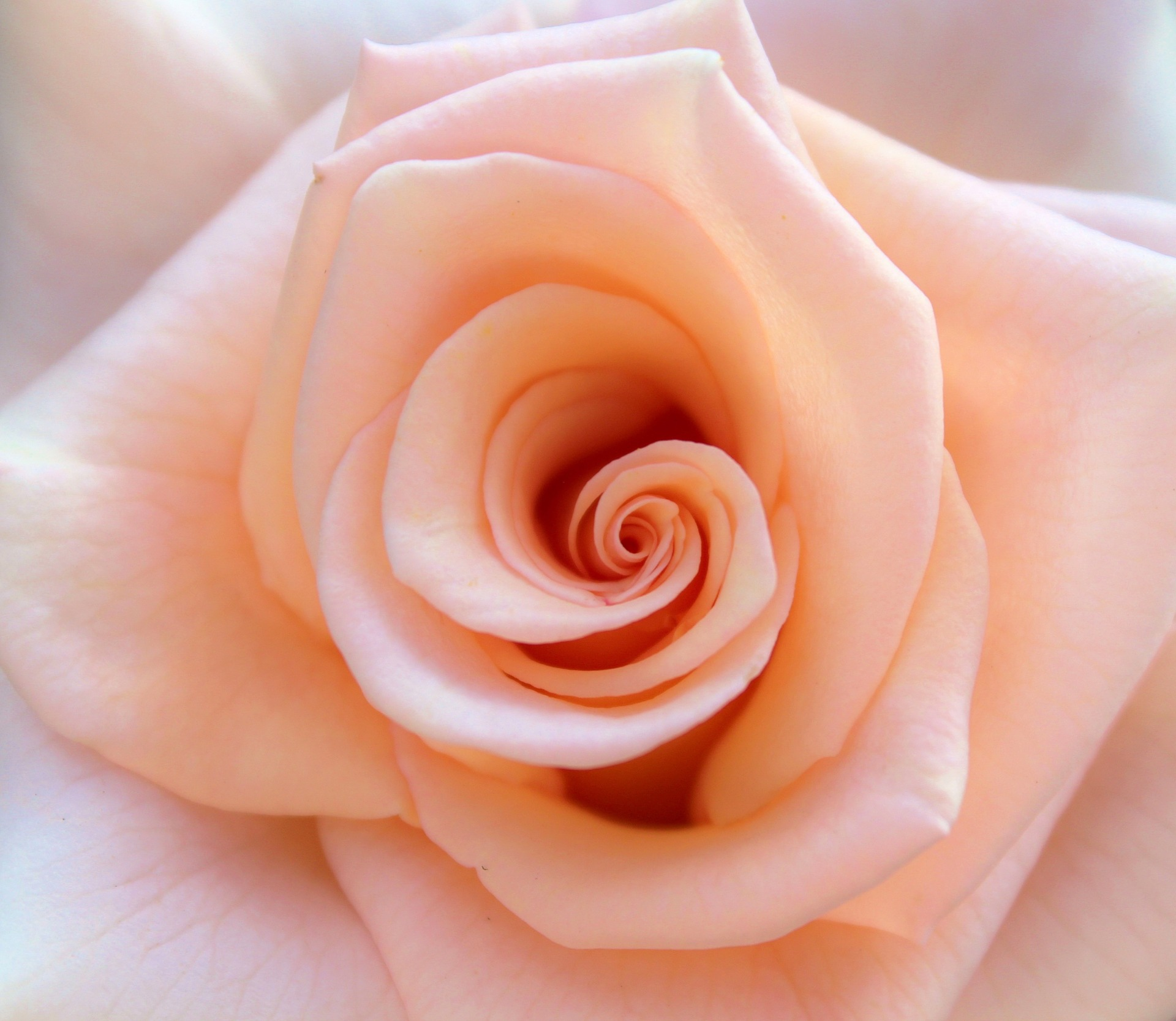 rose-851950_1920