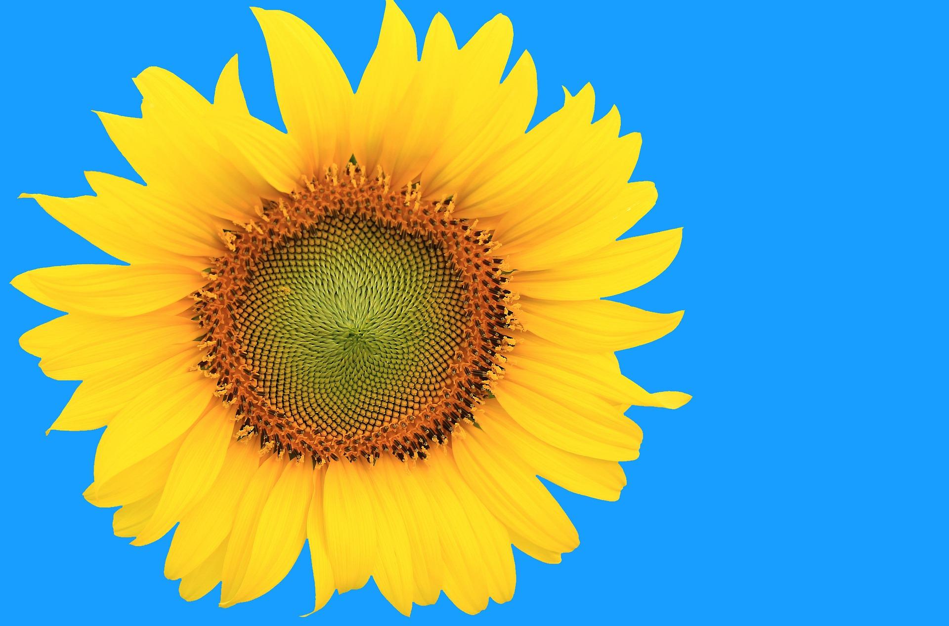 sunflower-804669_1920