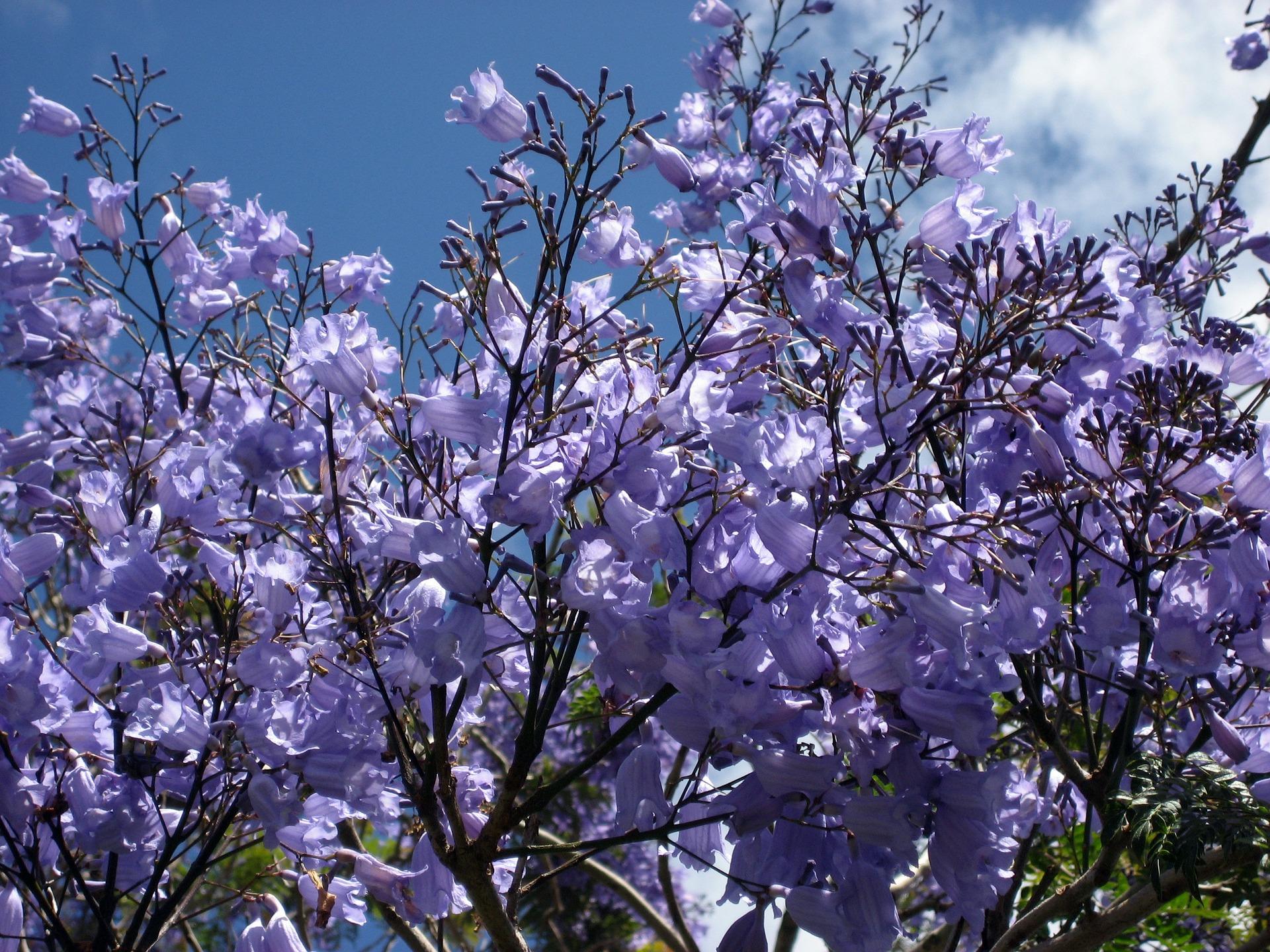jacaranda-blossoms-1168957_1920